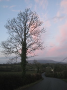 An ivy covered tree with a faintly pink sky