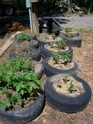 Growing Tatties in Tyres