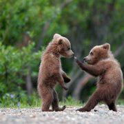 FERTILE GROUND Bear Cubs