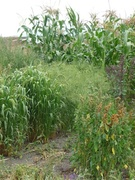 Backyard Beans & Grains Project