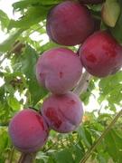 Advanced Stone Fruit Growing Part 1