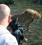 Cheetah vs cameraman
