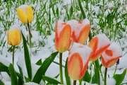 Spring snow on tulips