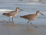 2 Willets at Nags Heads