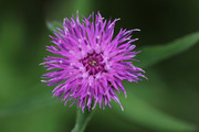 Wild Flowers of London
