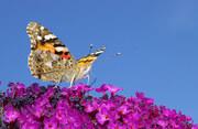 Schmetterling 2009 (27)