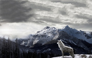 WOLF IN SNOW 2