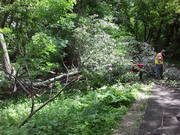 More workers cutting up damaged tree on North Branch trail