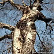 Womanly Tree Image