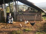 chicken picking