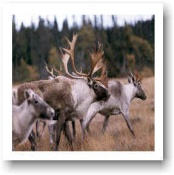 Caribou Hunting