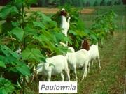 paulownia_goats