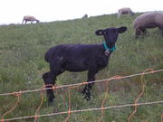 Black sheep in Sachseln