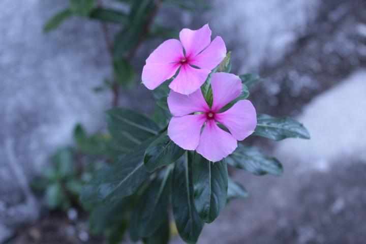 Flor del Cemento