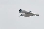 Seagull 002