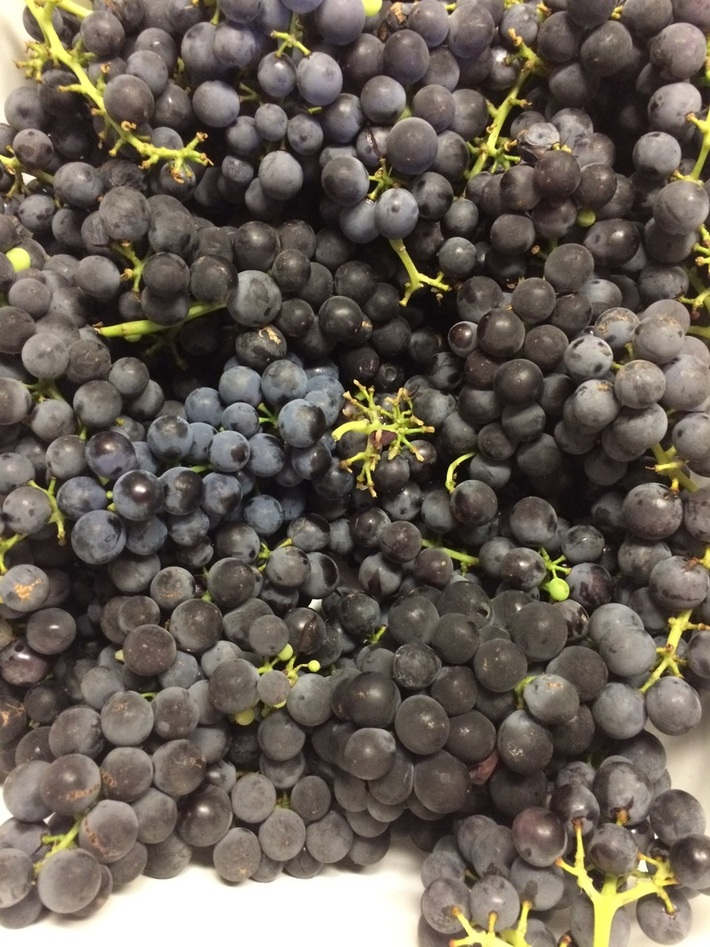 A lovely bunch of grapes Cary picked from the vines