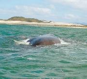 As Baleis Estão Chegando