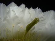 Flor de Cactus - Mandacaru 3