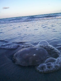 Jelly fish @ the beach. More photos @ 007Pug.com