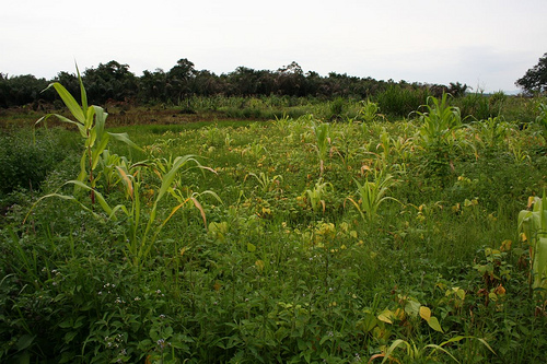 Dual use - maize and beans in the rice fields