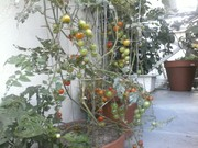 Tomatoes in pots from my garden