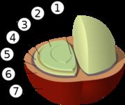 Estructura del grano de café