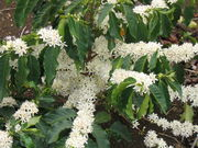 Flores del cafeto (café arábica)