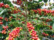 Frutos del cafeto (café arábica madurando).