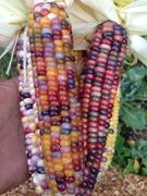 Glass Gem Corn
