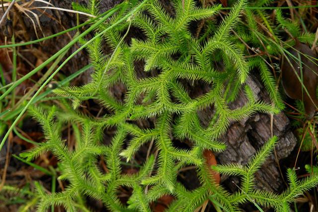 club moss (huperzine)