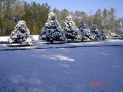 December 2009, Leland Cypress in my front yard