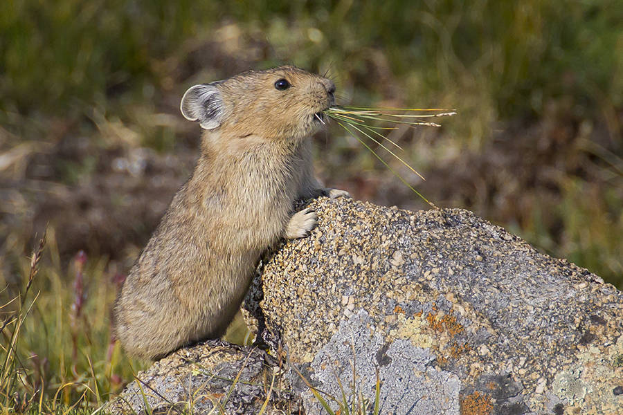 Inside Climate News: The Impossibly Cute Pika's Survival May Say Something About Our Own Future