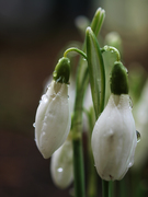 przebisniegi spring
