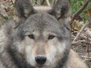 Great pic by my wife at the Wolf Sanctuary