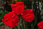 Trinity of Tulips