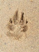 SCHOEP'S PAW ON THE BEACH  RIP SWEET ANGEL