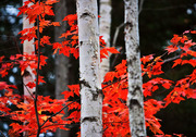 Birch and Red Maple in Maine