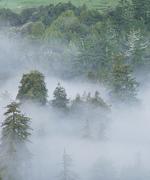 Tree Top Mist