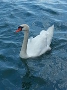 8 3 17 swan 1