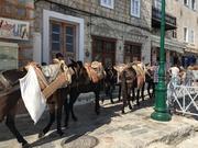 Mules headed
