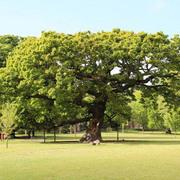 Tottenham Trees Walk