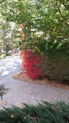 2014-10-25 Autumn colors, front yard,