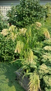 Unknon corn-like plant; can you identify it?