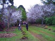 Florada da cerejeira - Frei Rogerio  SC