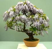 bonsai_371x352