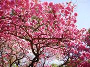 BXK68288_ipe-rosa...em-sampa800