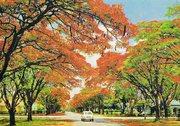 Flamboyant_trees_in_Blakiston_St,_Harare,_Zimbabwe,_1975