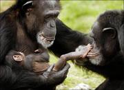 bonobos em família