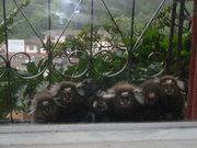 Família de micos