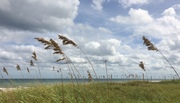 Sea oats survived the storm
